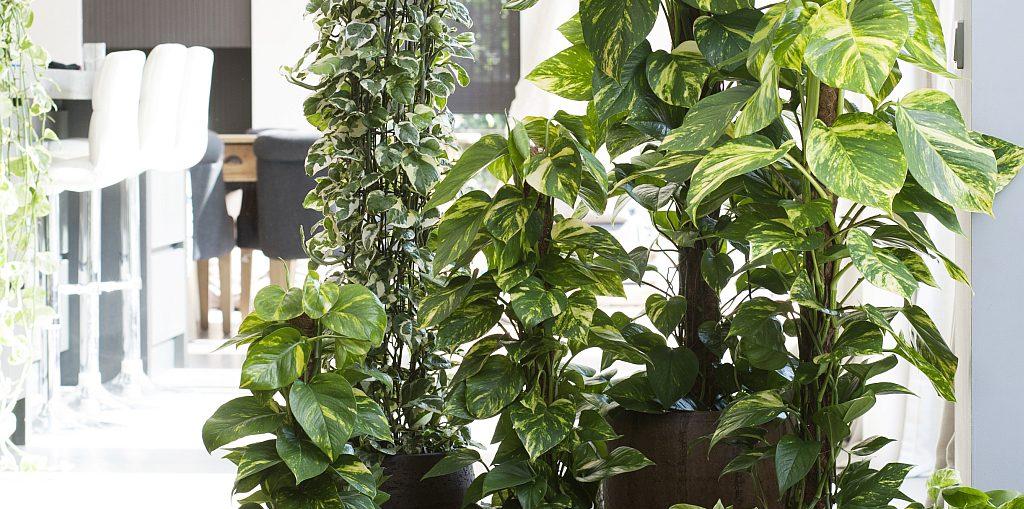 Le piante sempreverdi ideali per le vostre stanze for Piante sempreverdi da appartamento