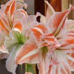 Piante fiorite da appartamento