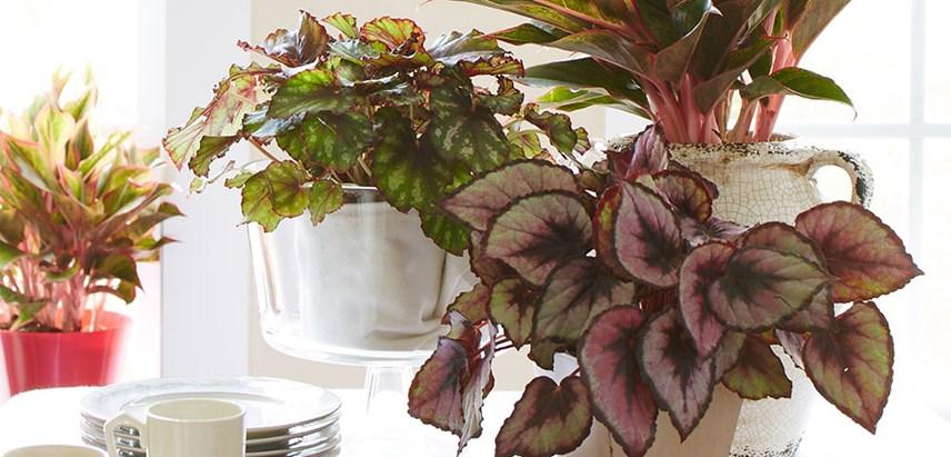 Le piante con foglie variegate for Begonia pianta