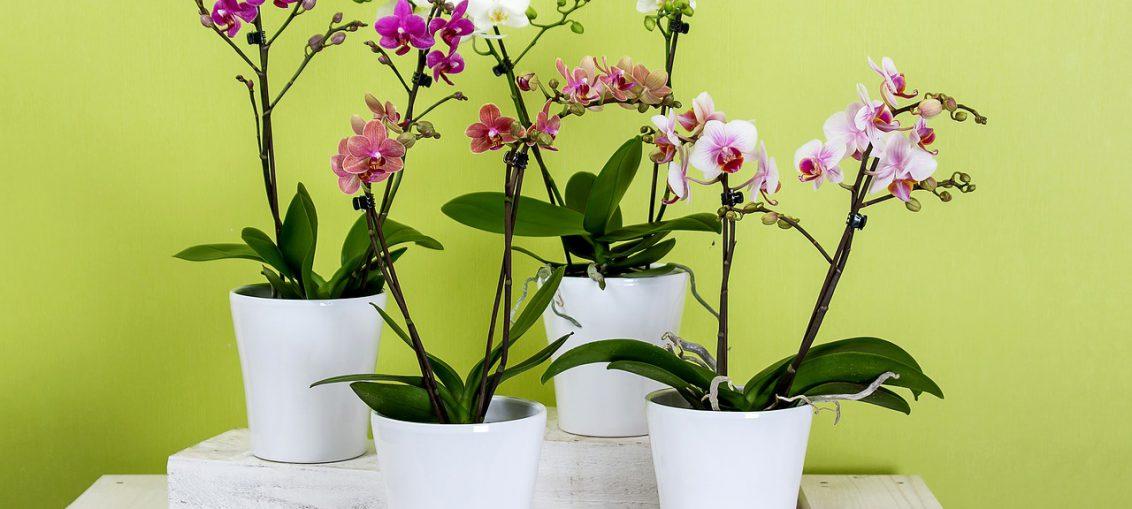 le orchideee per la casa