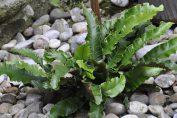 asplenium pianta