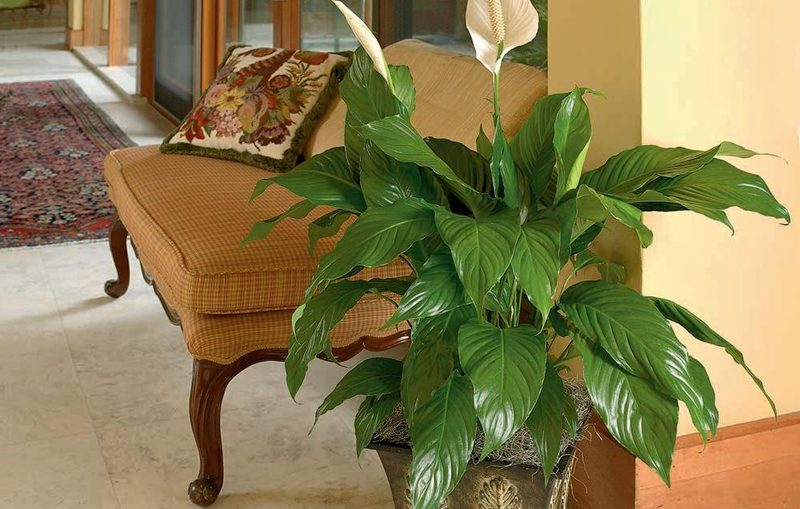 Spathiphyllum pianta per casa