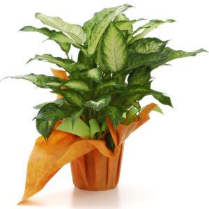 Le piante rampicanti da interno e appartamento - Piante rampicanti da interno ...