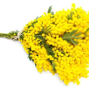 Mimosa gialla online a domicilio