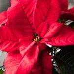 Stella di Natale, la simbologia, il suo significato, come sceglierla e curarla