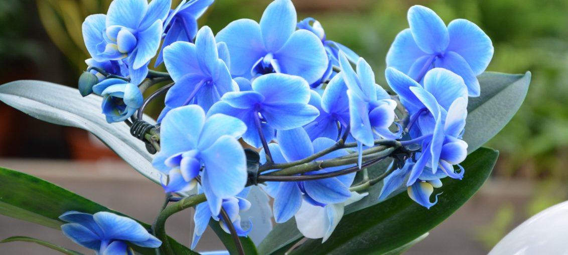 Come curare e mantenere un'orchidea