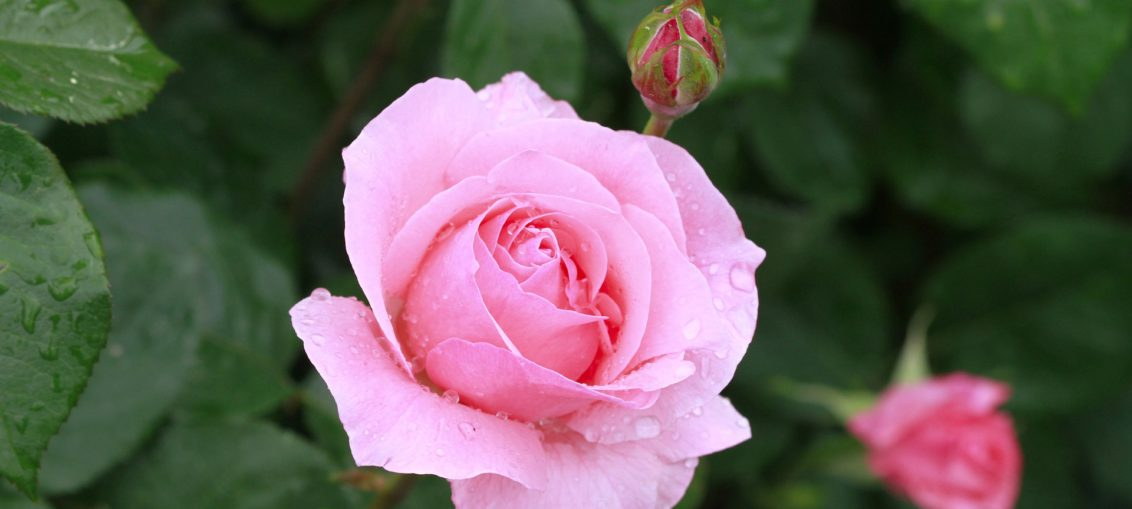 Rose: le specie, il significato dei colori, la cura