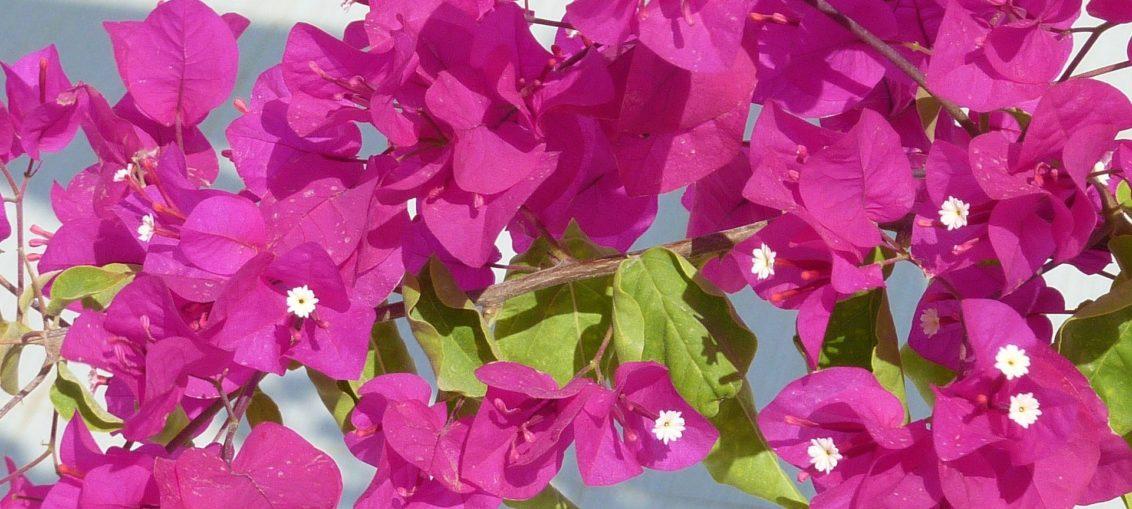 pianta rampicante rosa