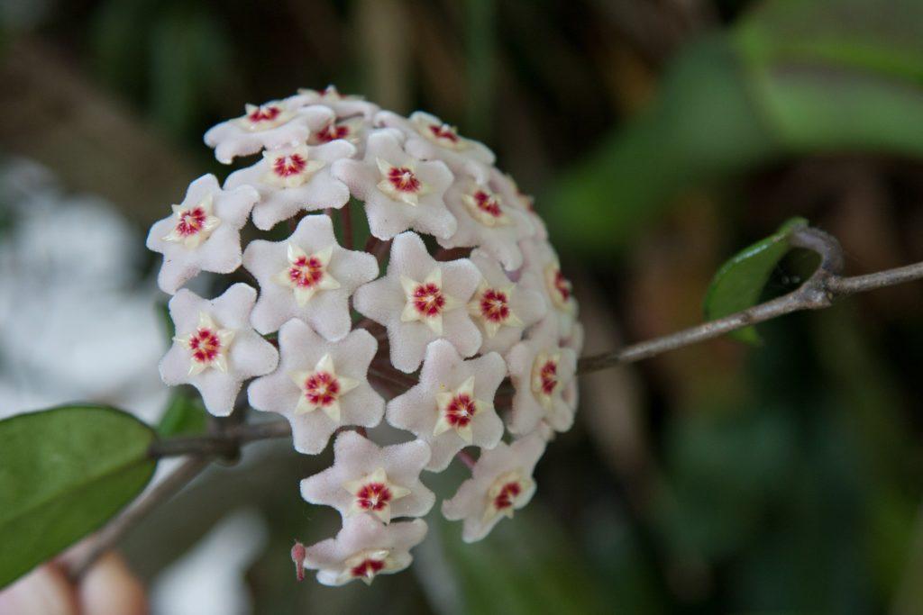 hoya carsona fiori bianchi