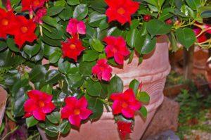 fiori rampicanti rossi
