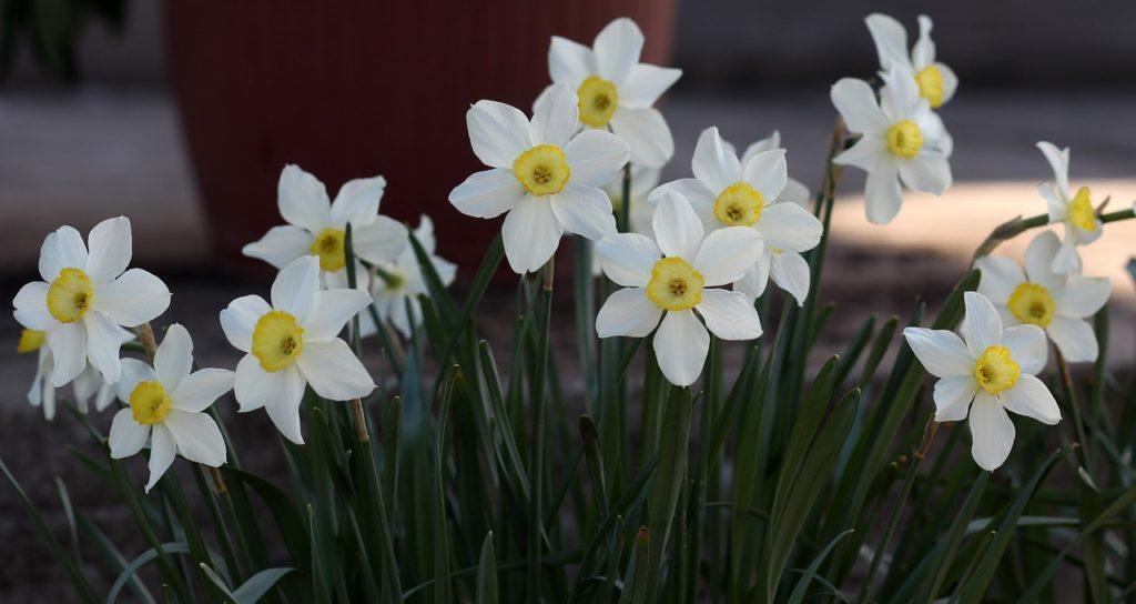 Fiore primaverile - Narciso bianco
