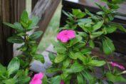 Quali Fiori Acquistare ad Aprile - fiore primaverile rosa