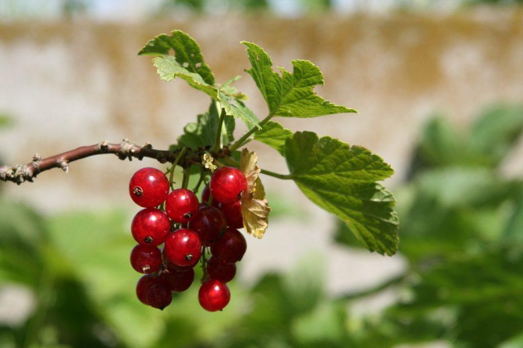 Piante da potare a maggio - Ribes Rosso