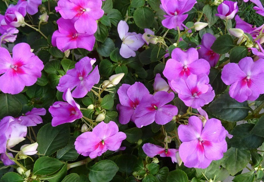 Fiore primaverile - impatiens rosa