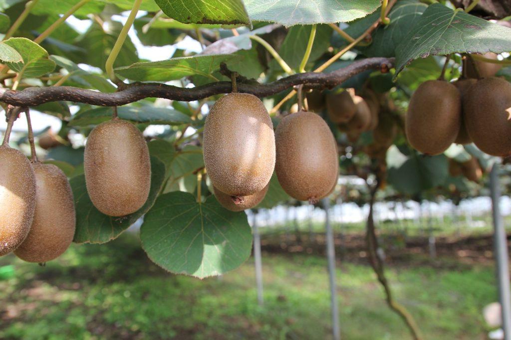Piante da potare a maggio - Kiwi