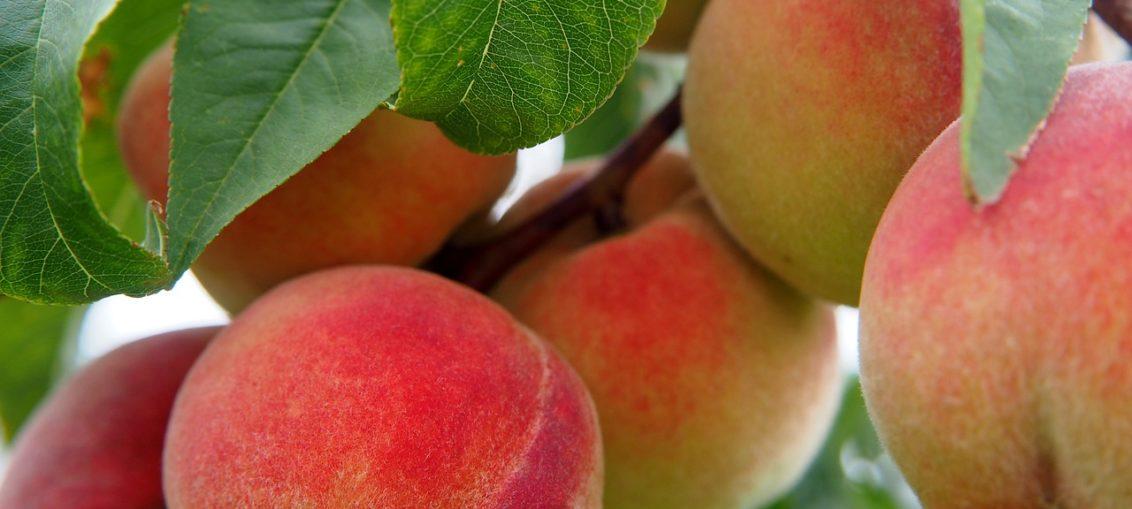 Le piante da potare a maggio quali potare e come for Piante da frutto vendita on line