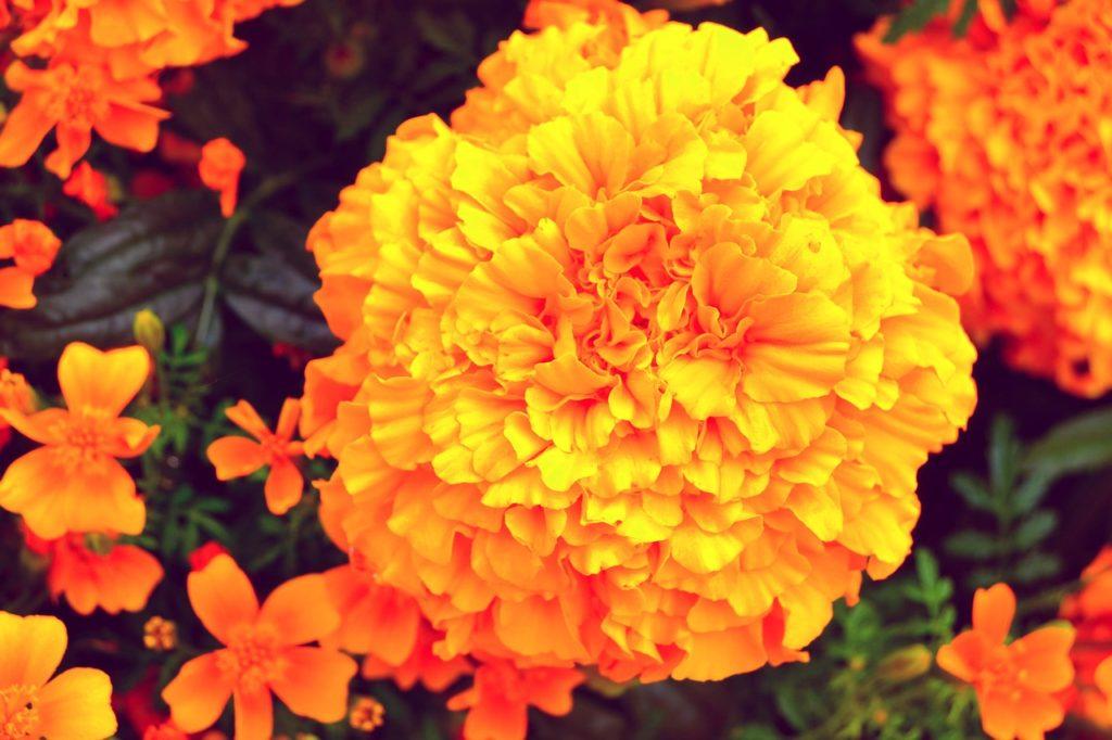 Fiore primaverile da acquistare in aprile - Tagete