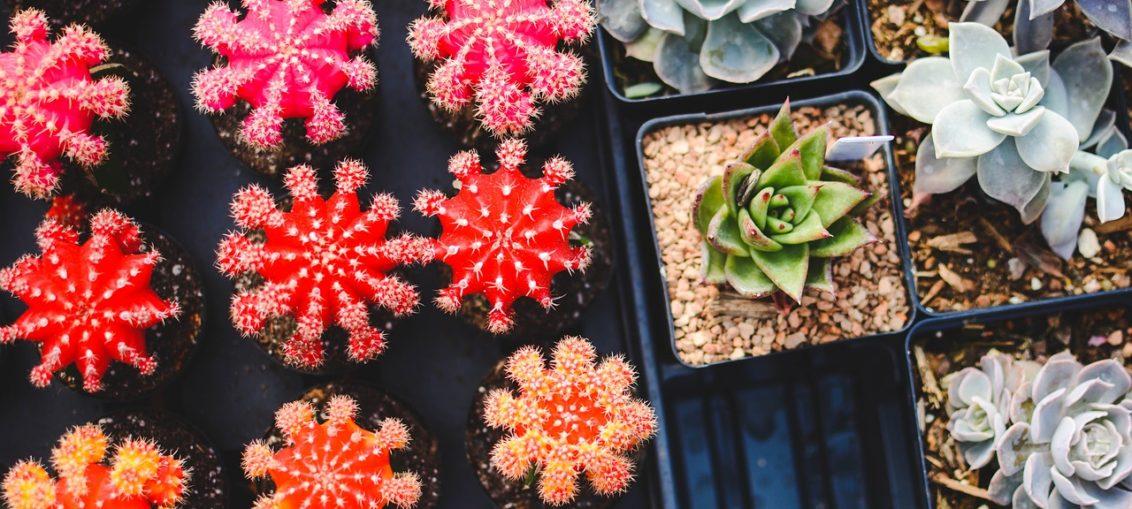 Cactus colorati - FioriOnline