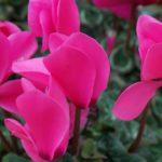 Consigli per coltivare e curare i ciclamini a terra e in vaso