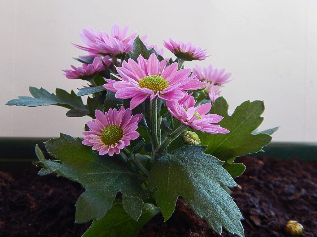 Gerbere lilla - FioriOnline