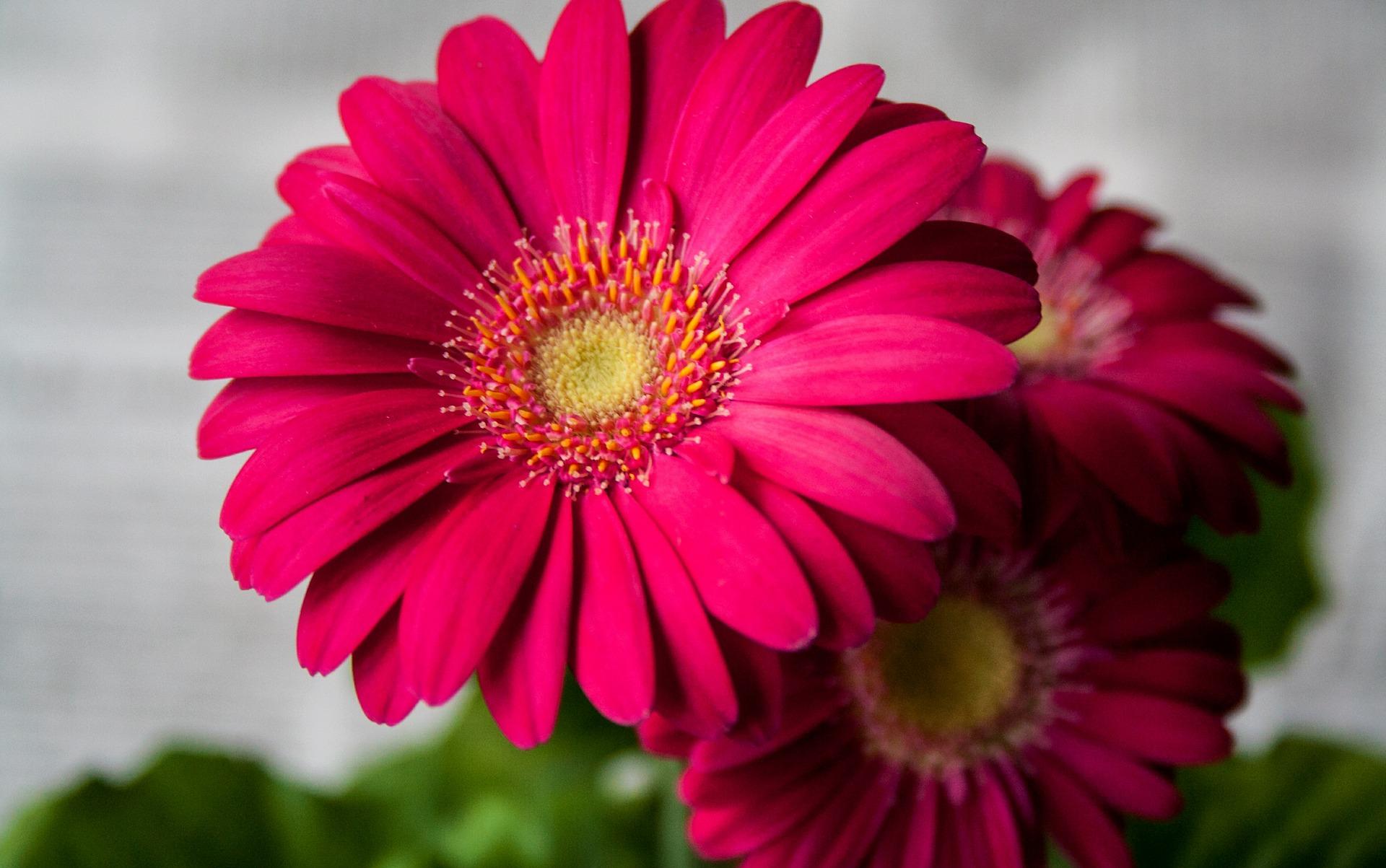 Le gerbere il significato come coltivare e curarle for Fiori gerbere