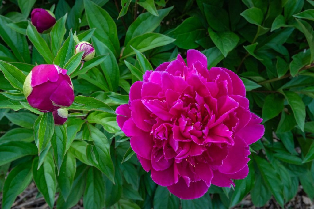 peonia viola - come curarla - significato - FioriOnline