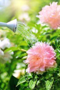 Come curare e coltivare la peonia - FIoriOnline