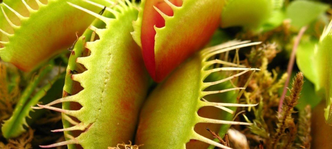 Come coltivare piante carnivore