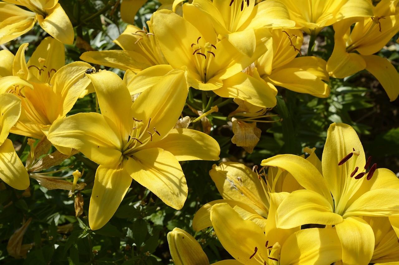 Gigli: fioritura