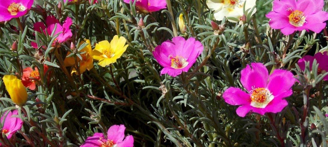 Portulaca ornamentale coltivazione