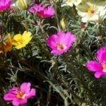 Fiori estivi: la portulaca ornamentale, coltivazione e cure
