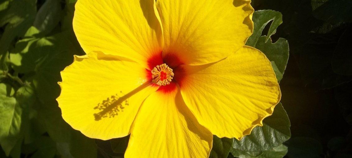 Ibisco: significato, coltivazione, cura