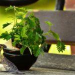 Mimosa Pudica, come coltivarla e curarla
