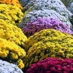 I fiori per la festa di Ognissanti | Fiori per il 1° Novembre