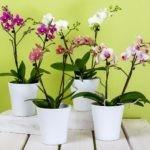 Come far rifiorire un'orchidea in modo semplice