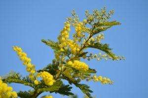 festa della donna pianta di mimosa